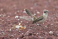 Ecuador, Galapagos Islands, Rabida, Galapagos mockingbird - FOF007401