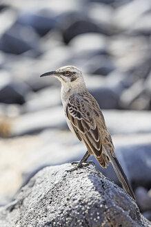 Ecuador, Galapagos Islands, Santa Cruz, Punta Suarez, Galapagos mockingbird - FOF007405