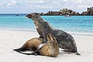Ecuador, Galapagos Islands, Espanola, Gardner Bay, two sea lions on sandy beach at seafront - FOF007408