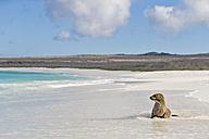 Ecuador, Galapagos Islands, Espanola, Gardner Bay, sea lion sitting in water at seafront - FOF007417