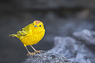 Ecuador, Galapagos Islands, Santiago, yellow warbler - FOF007427