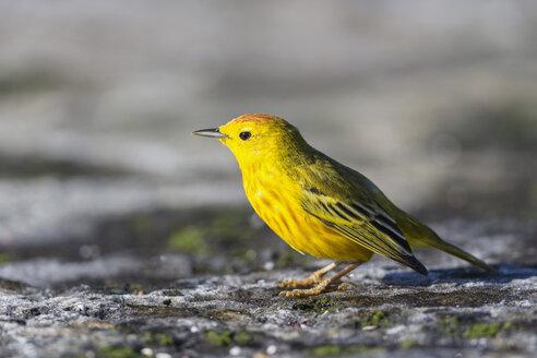 Ecuador, Galapagos Islands, Santiago, yellow warbler - FOF007428