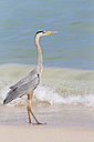 Ecuador, Galapagos Islands, Santa Cruz, Playa Las Bachas, Great blue heron - FOF007432