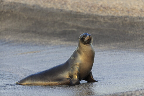 Ecuador, Galapagos Islands, Fernandina, sea lion on beach - FO007436