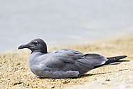 Ecuador, Galapagos Islands, Santa Cruz, Playa Las Bachas, lava gull lying on sand - FOF007438
