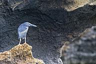 Ecuador, Galapagos Islands, Bartolome, lava heron on a rock - FOF007443