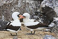 Ecuador, Galapagos Islands, Genovesa, Darwin Bay, two Nazca boobies in love - FOF007454