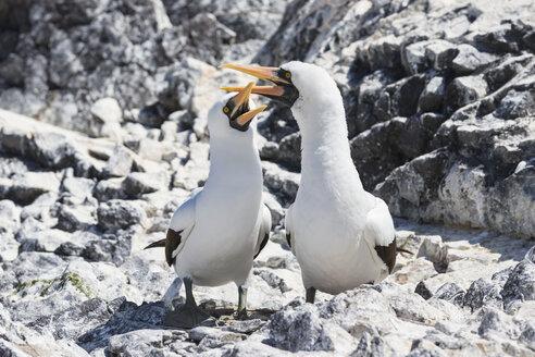 Ecuador, Galapagos Islands, Espanola, Punta Suarez, two Nazca boobies - FOF007466