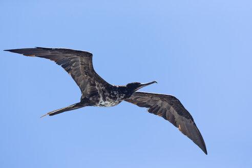 Ecuador, Galapagos Islands, Isabela, flying female frigatebird - FOF007473