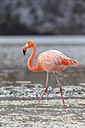 Ecuador, Galapagos Islands, Floreana, Punta Cormorant, pink flamingo walking in a lagoon - FOF007482
