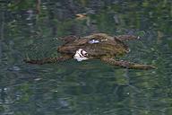 Ecuador, Galapagos Islands, Isabela, swimming Galapagos green turtle - FOF007489
