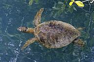 Ecuador, Galapagos Islands, Isabela, swimming Galapagos green turtle - FOF007490