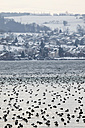 Germany, Baden-Wuerttemberg, Lake Constance with ducks in winter - JTF000611