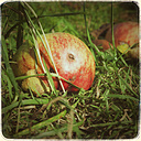 Apples in grass - CSTF000756