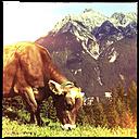 alm cow, grass, tyrol, austria - LUL000168
