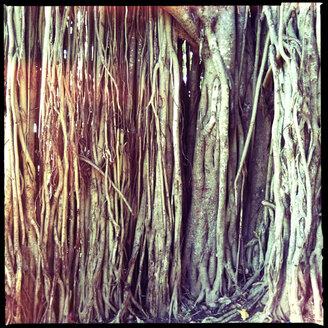 detail of ficus tree roots, trincomalee, eastern province, sri lanka - LULF000182