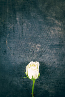 White rose on wooden background - ON000785