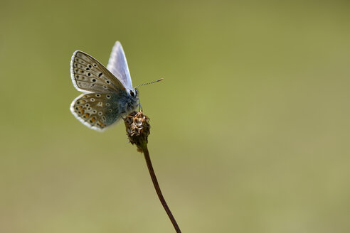 Common blue butterfly, Polyommatus icarus - MJOF000928