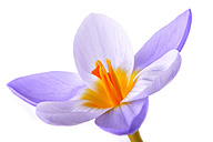 Crocus in front of white background - MJOF000933