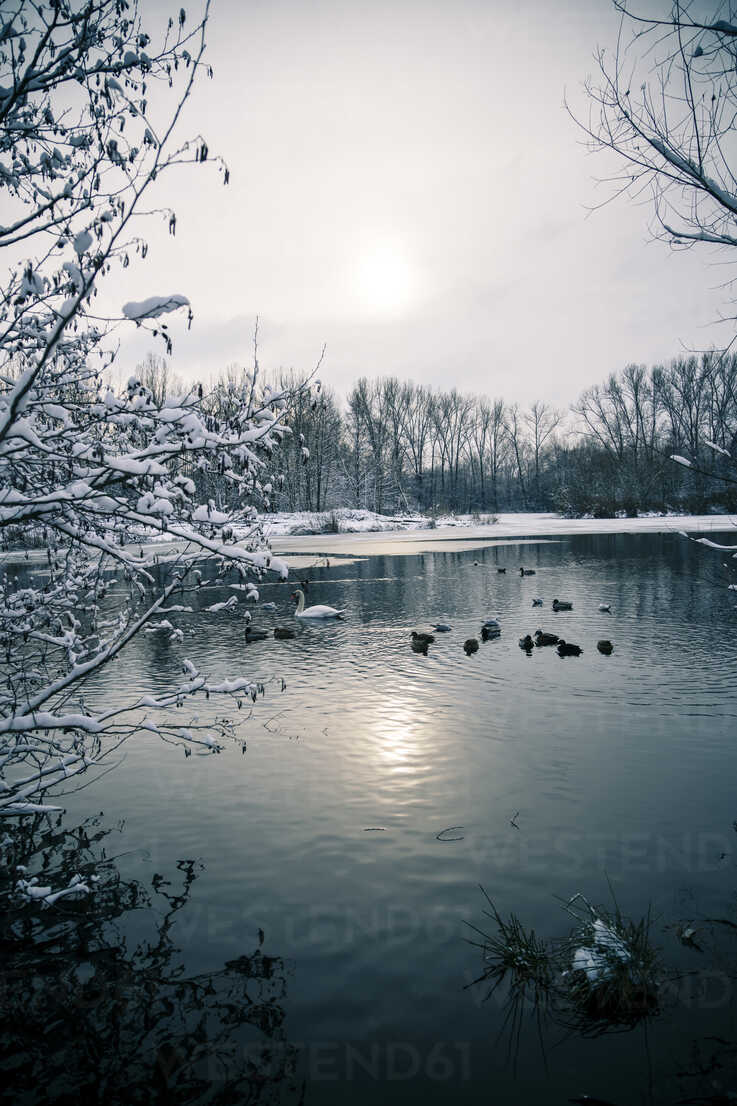 Germany, Bavaria, Ergolding, Pond with birds and swan in winter - SAR001272 - Sandra Roesch/Westend61
