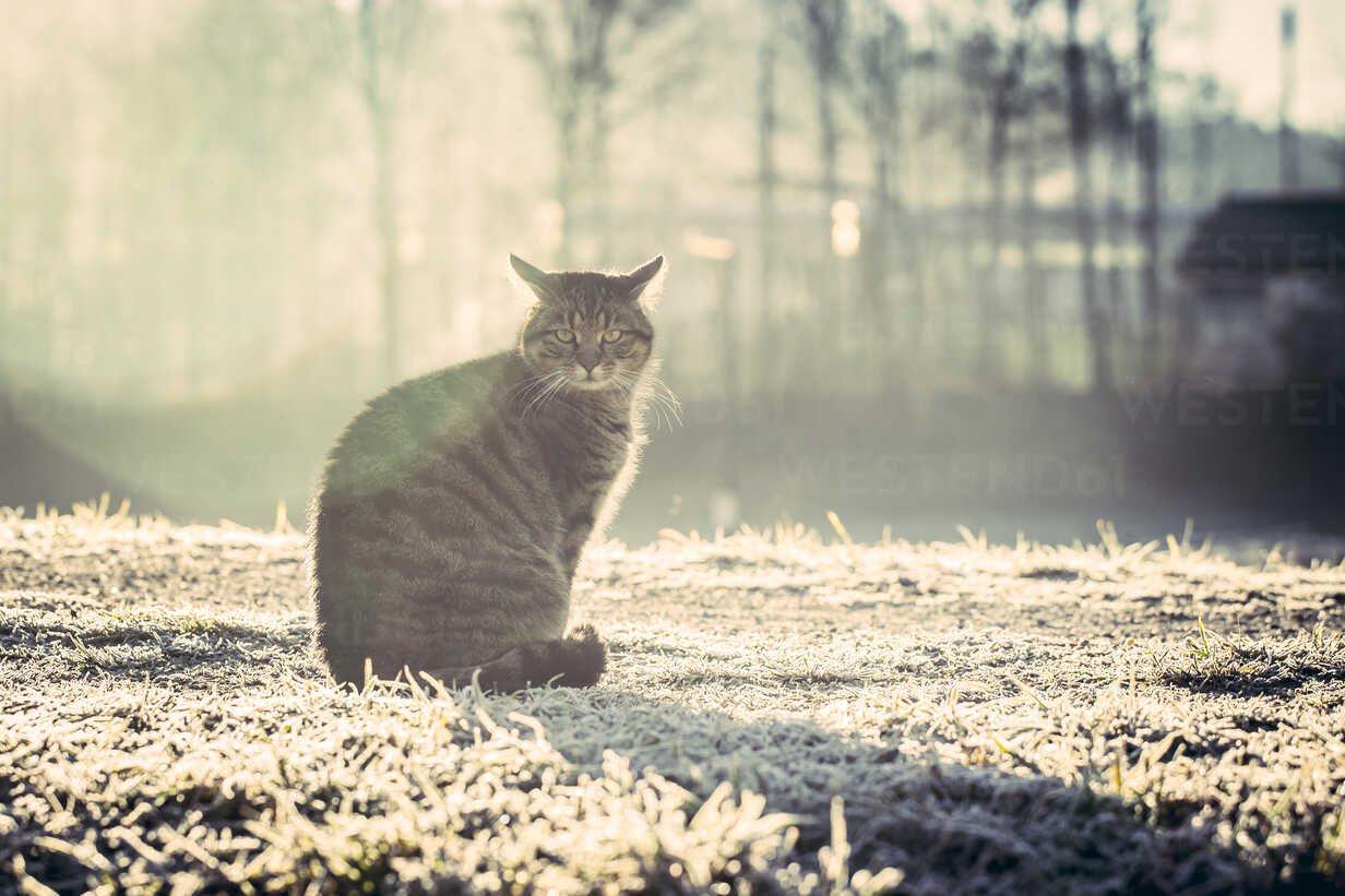 Germany, domestic cat in winter - SARF001267 - Sandra Roesch/Westend61