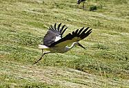 Austria, Burgenland, white stork over field - SIEF006397