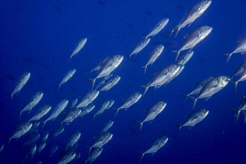 Oceania, Palau, school of bigeye trevallies - JWAF000226