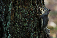 Canada, Vancouver, squirrel with peanut in mouth - NGF000178