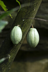 Canada, Vancouver Aquarium, Cocoa fruits - NGF000173