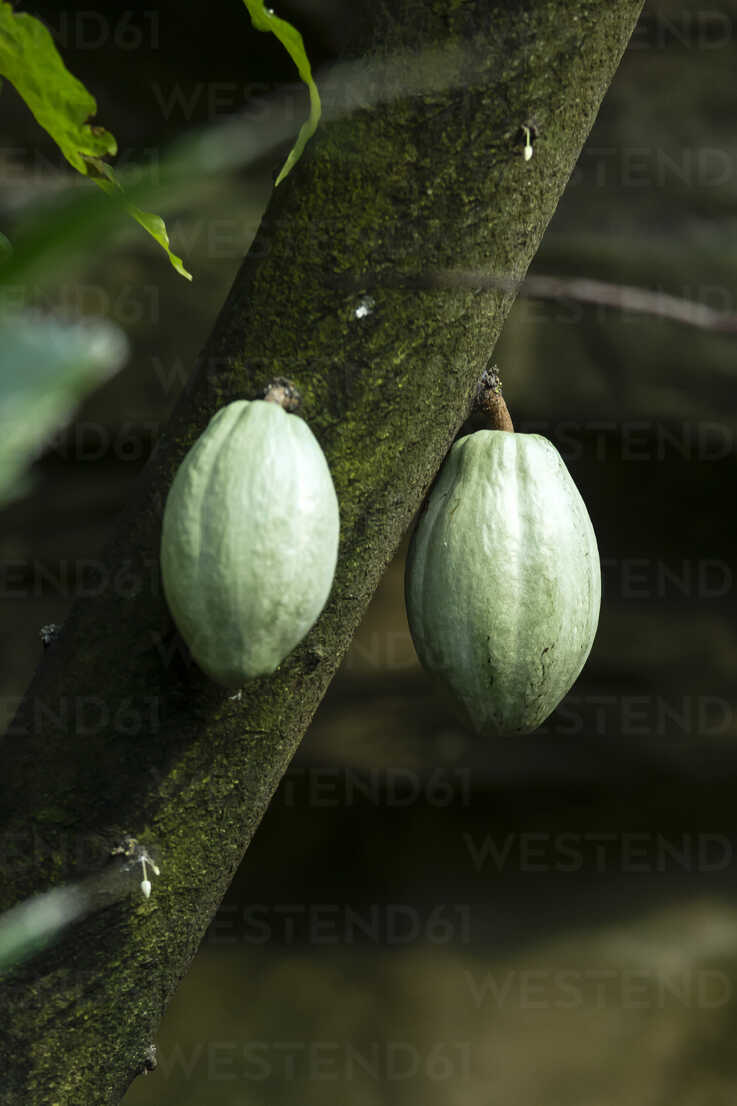 Canada, Vancouver Aquarium, Cocoa fruits - NGF000173 - Nadine Ginzel/Westend61
