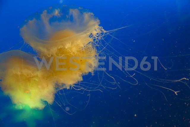 Canada, Vancouver Aquarium, Mauve stinger jellyfish - NGF000180 - Nadine Ginzel/Westend61