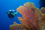 Pacific Ocean, Palau, scuba diver in coral reef with Giant Fan Coral - JWAF000209
