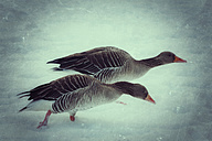 Grey geese in snow - CSTF000783