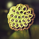Fruit of Lotus Flower - CSTF000788