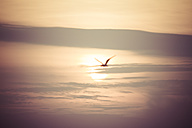 Flying seagull at sunset - KRPF001221