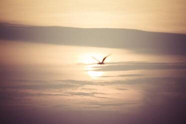 Flying seagull at sunset - KRPF001221