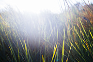 Germany, Dahme, marram grass at sunset - KRP001288