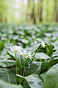 Germany, North Rhine-Westphalia, Eifel, blossoms and leaves of wild garlic - GWF003592