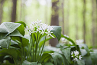 Germany, North Rhine-Westphalia, Eifel, blossoms and leaves of wild garlic - GWF003597