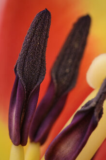 Tulip, Tulipa, Pistils - MJOF000936