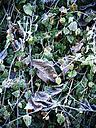 Germany, leaves in winter - KRPF001180