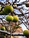 Germany, green apples on tree in winter - KRPF001267