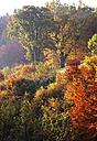 Austria, Salzkammergut, Mondsee, oak trees in autumn - WWF003408