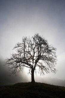Austria, Mondsee, fruit tree in morning mist - WWF003462