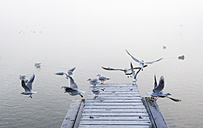 Austria, Mondsee, seagulls in morning mist - WWF003463