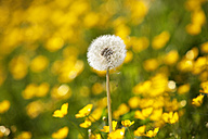 Blowball on buttercup meadow - WWF003550
