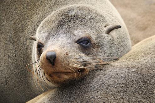 Namibia, Namib desert, portrait of cape fur seal - ESF001528