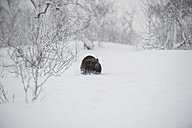 Norway, Bardu, wolverine walking through snow - PAF001229