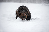 Norway, Bardu, wolverine walking through snow - PAF001237