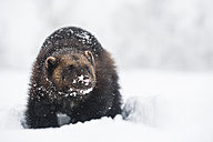 Norway, Bardu, snow-covered wolverine - PAF001239